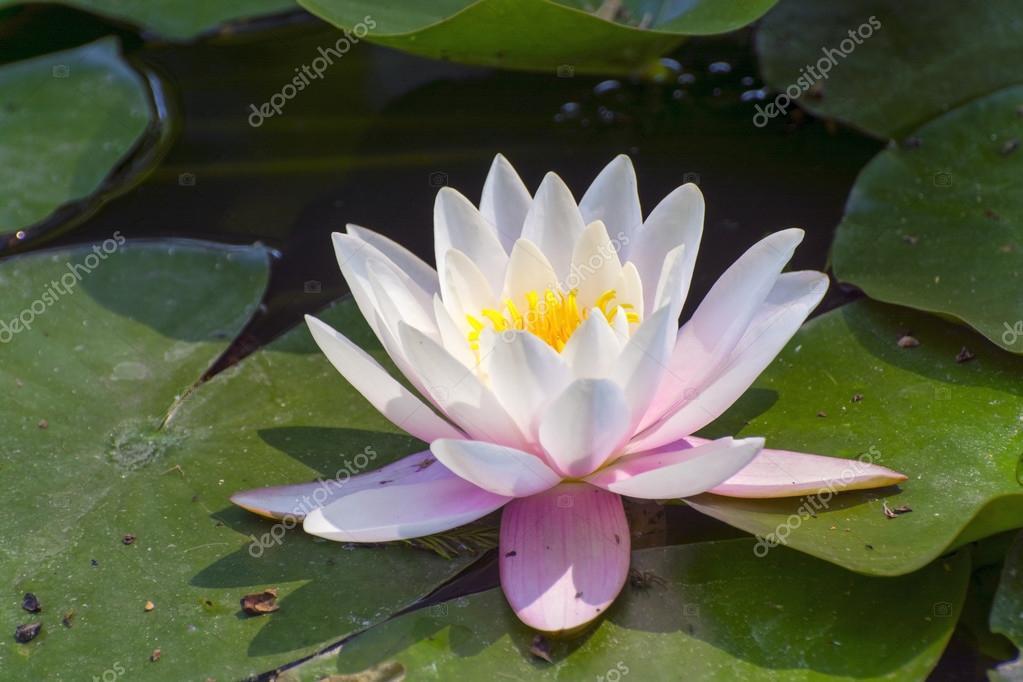 Indian Lotus (Nelumbo Nucifera) Flower In A Pond U2014 Zdjęcie Od Belizar