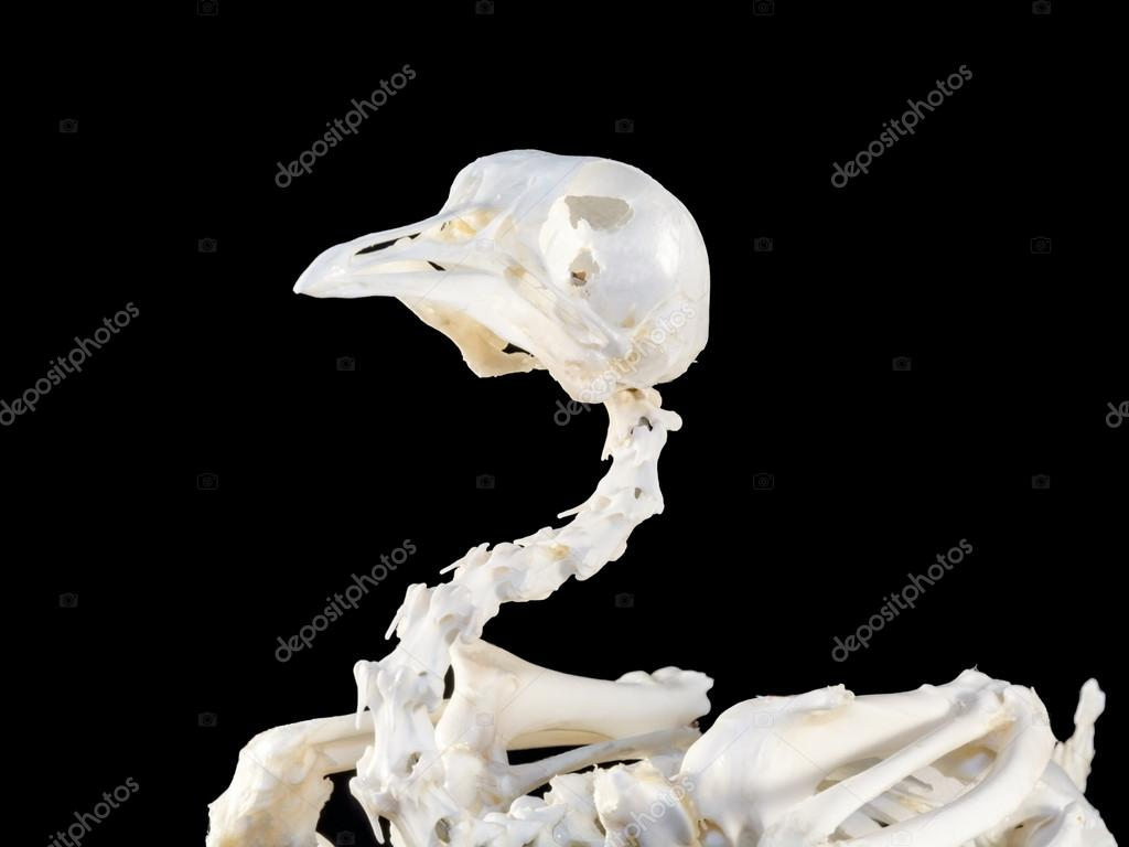 Esqueleto de aves — Fotos de Stock © belizar #82397460