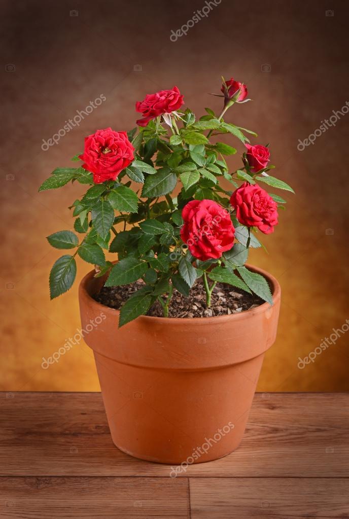 Pianta Di Rose Rosse In Vaso U2014 Foto Di Al1962