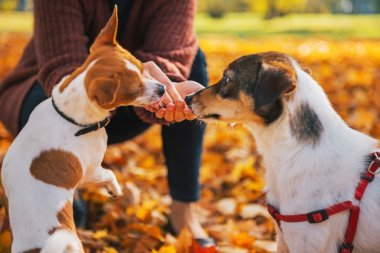 Closeup on young woman feeding dogs outdoors in autumn