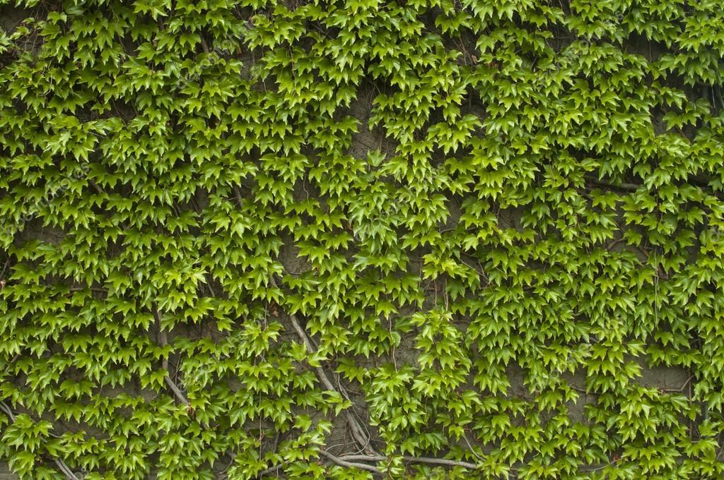 Pared con verde plantas trepadoras foto de stock - Plantas trepadoras de sol ...