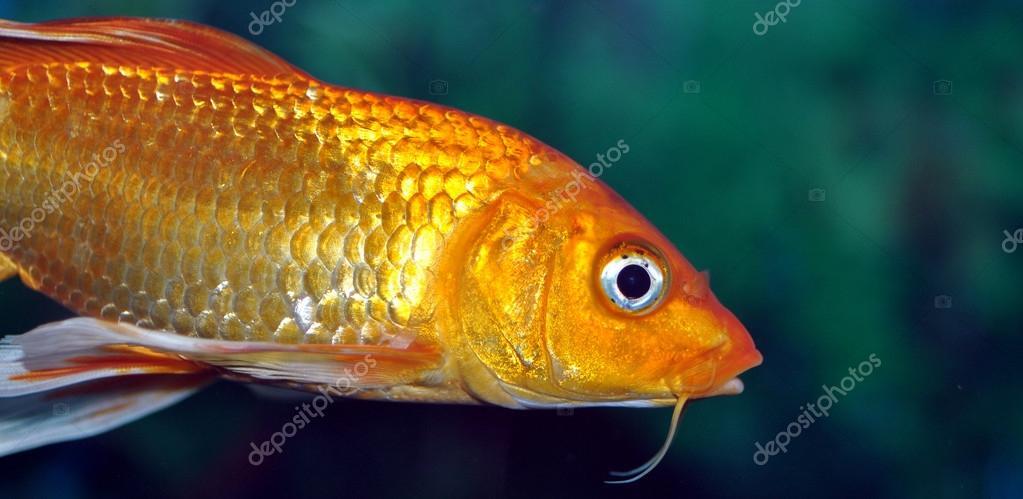 Altın balık