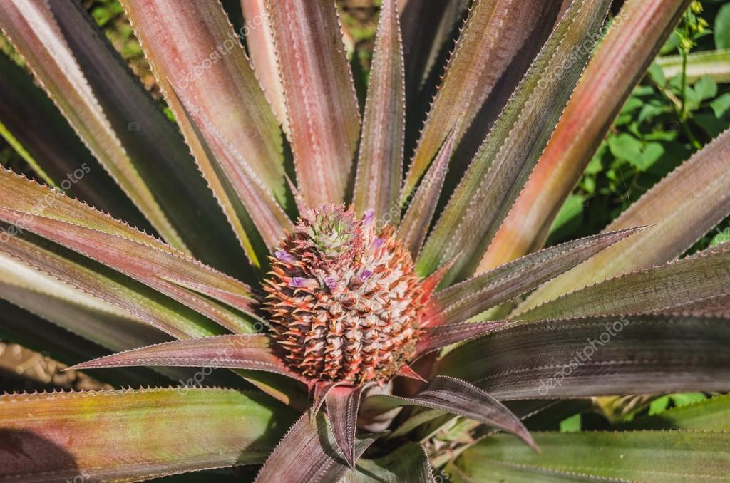 pineapple growing at the plantation