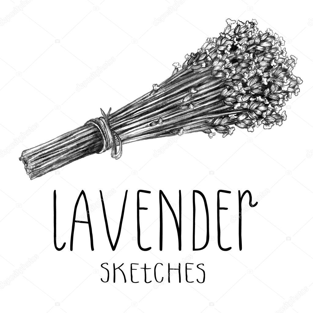 Lavender herb sketch