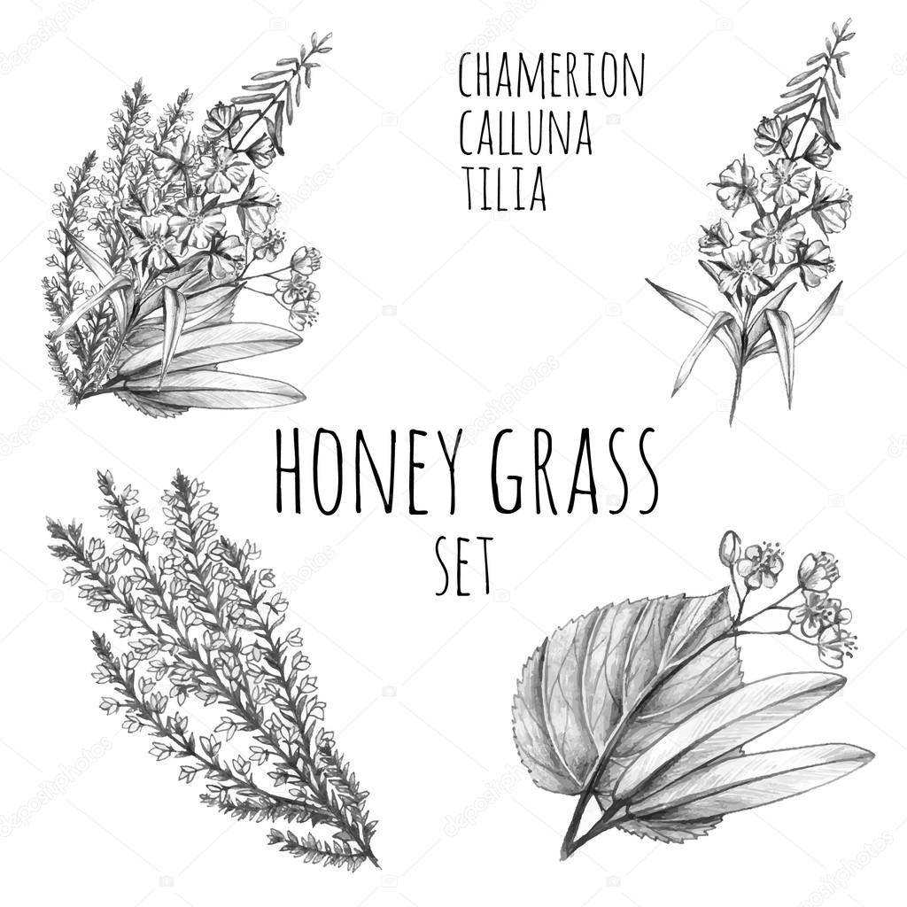 Honey grass sketches