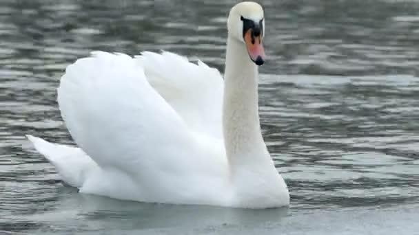 Fehér hattyú úszik a téli tavon. Gyönyörű vadmadár..
