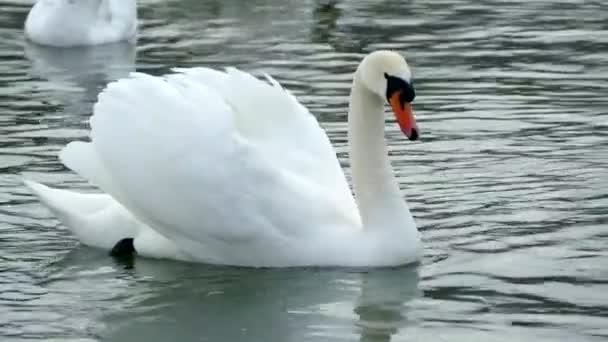 Weißer Schwan schwimmt auf einem Wintersee. Schöner Wildvogel.