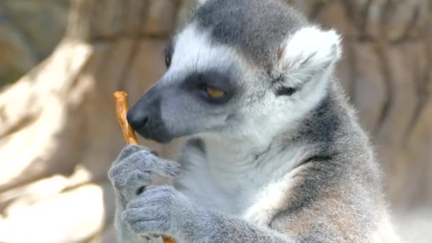 Lemuren schnauzen. Lemur leckt einen salzigen Cracker.