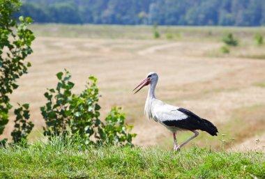 Stork in a field