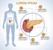 Fotografia Pancreas. Infographics medico moderno