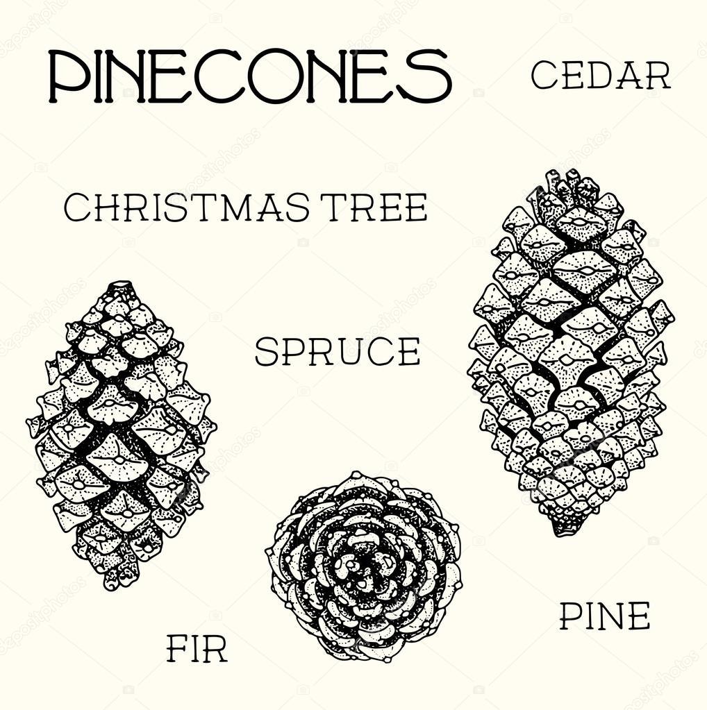 Juego de piñas. Cedro, árbol de Navidad, abeto, pino, Ilustración de ...