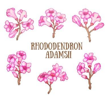 Rhododendron adamsii sagan-dali,  labrador tea bush watercolor illustration