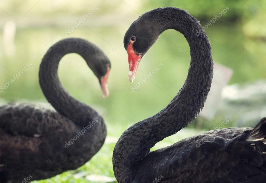 Black swan in love