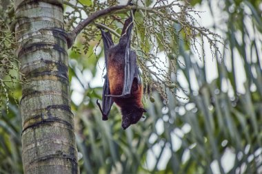brown black flying fox called Megabat, in Latin Pteropodidae, hangs from a palm tree with the typical claws on the front legs