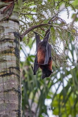 Flying fox called Megabat, in Latin Pteropodidae, hangs on a palm tree, portrait photo, the animal is awake and looking