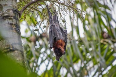 black and brown Flying fox called Megabat, in Latin Pteropodidae, hangs upside down from a palm tree, one siet the pointed ears and snout and round eyes