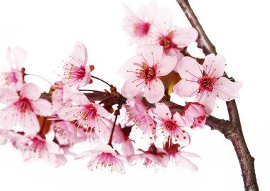 Cherry blossom isolate on white. Sakura. Beautiful pink flowers