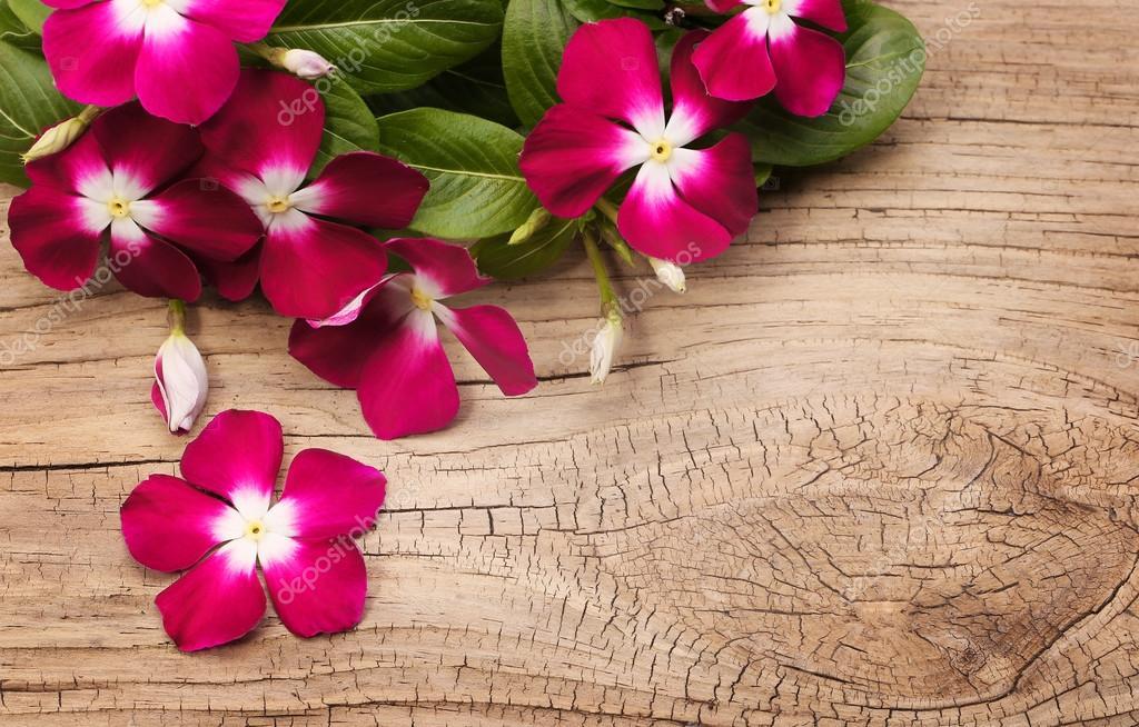 Magenta Vinca Flowers on wooden background (Catharanthus roseus)