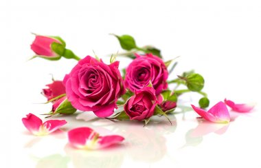 beautiful pink roses with reflection