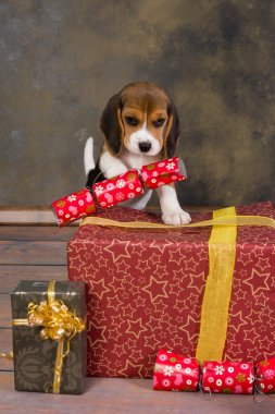 Christmas beagle puppy
