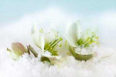 Helleborus flower in snow
