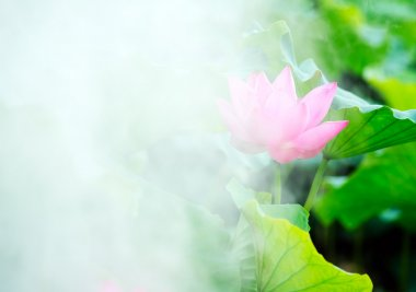 Morning, smoke lotus