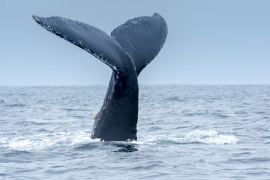 Humpback Whale in Puerto Lopez, Ecuador