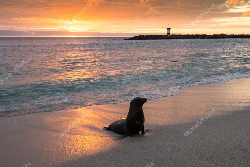 Baby fur seal at Punta Carola, Galapagos islands