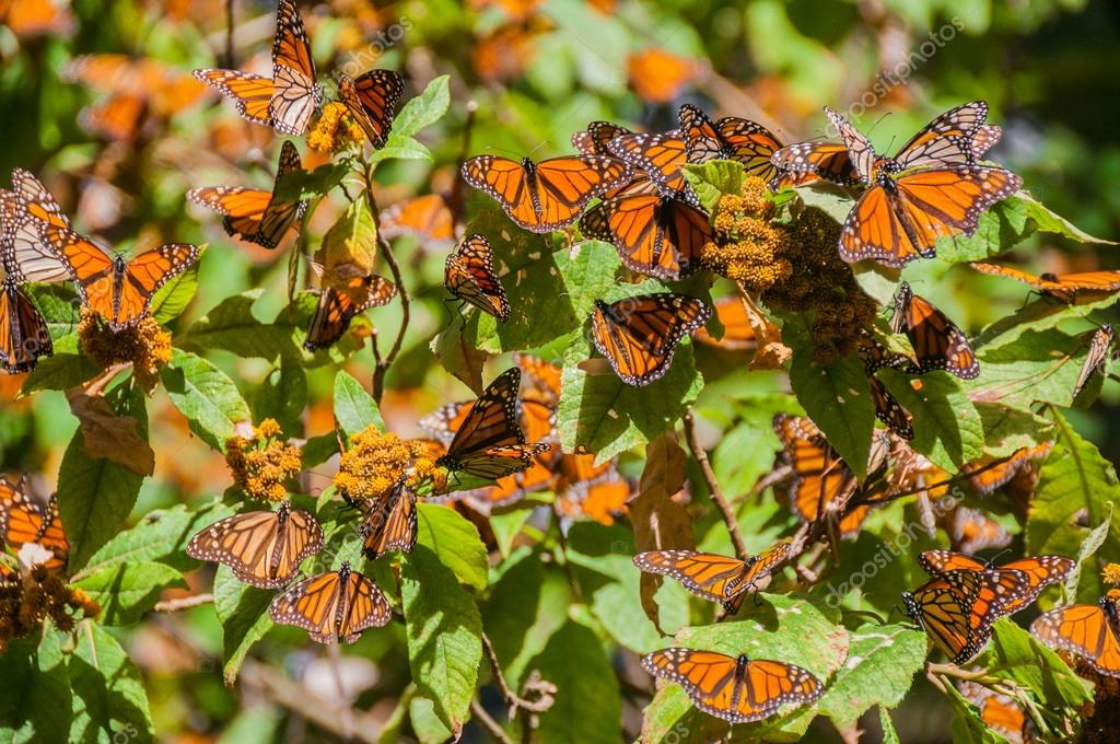 Monarch Butterfly Biosphere Reserve, Michoacan (Mexico)