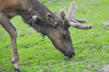 Elk grazing, Alaska stock vector