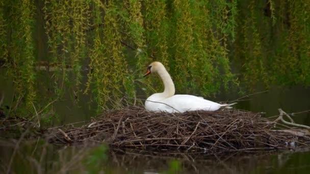 Ein Schwan sitzt in einem Nest auf einem Teich.