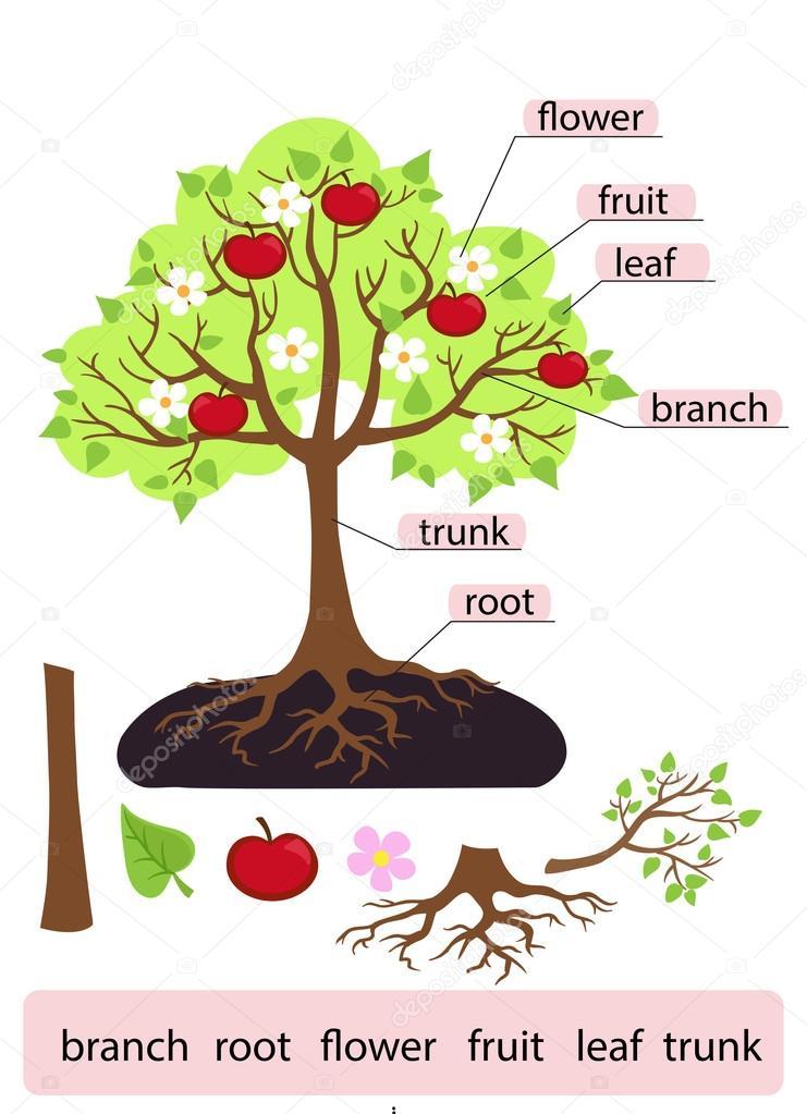 Treeclipart Parçalar Ağaç Yapısı Gövdesi Kök Dal Meyve Yaprak