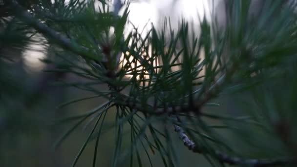 Fenyőág zöld tűkkel. Fa ágak mozognak a szélben. Közelkép