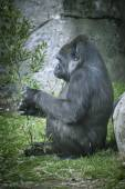 gorilla in  natural environment
