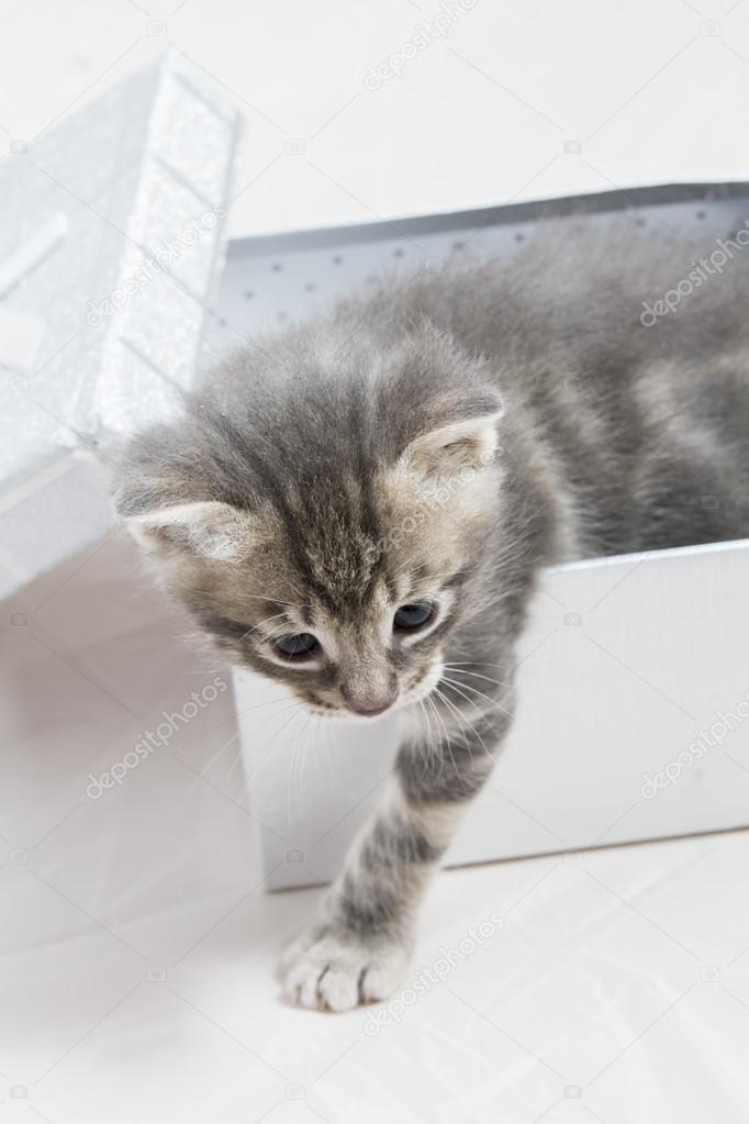 small kitten stuck in a gift box, cuddly animal sweet face