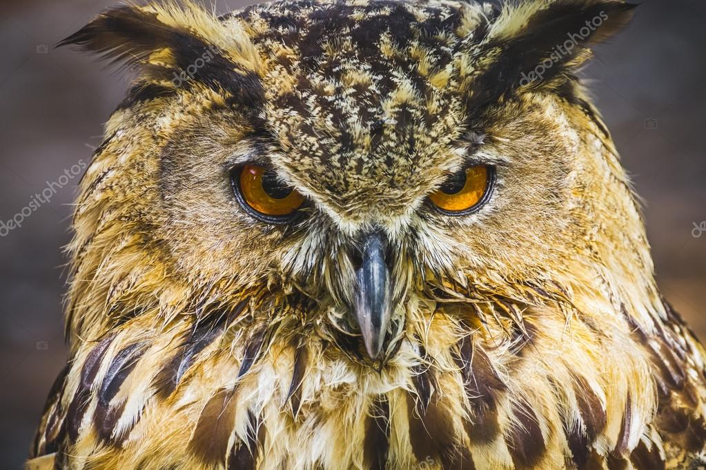 Owl with intense eyes