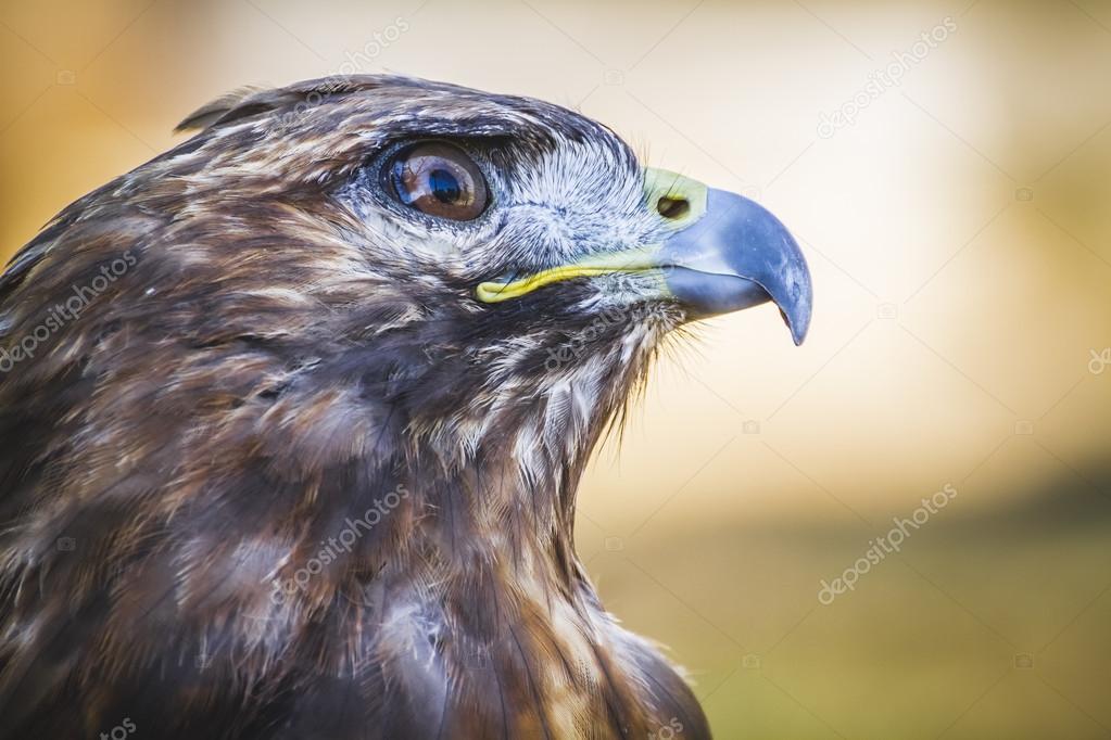 Diurnal bird