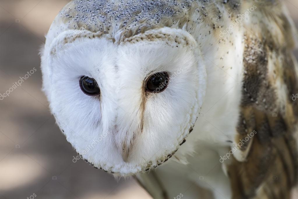White-headed owl