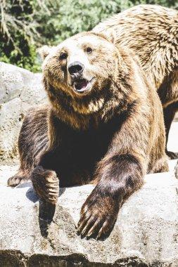 Furry brown bear