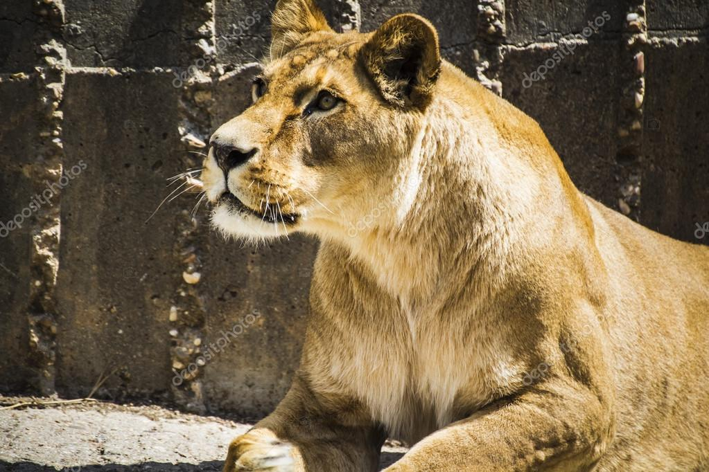 Powerful lioness resting