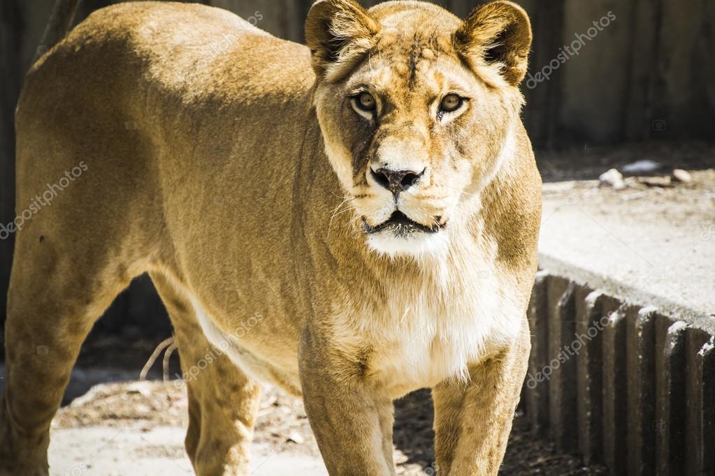 Carnivore lioness resting