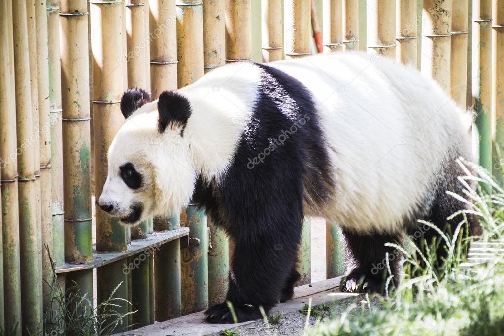 Beautiful breeding panda bear