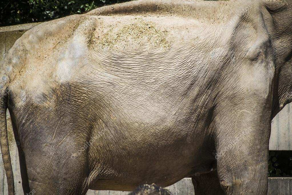Powerful African elephant