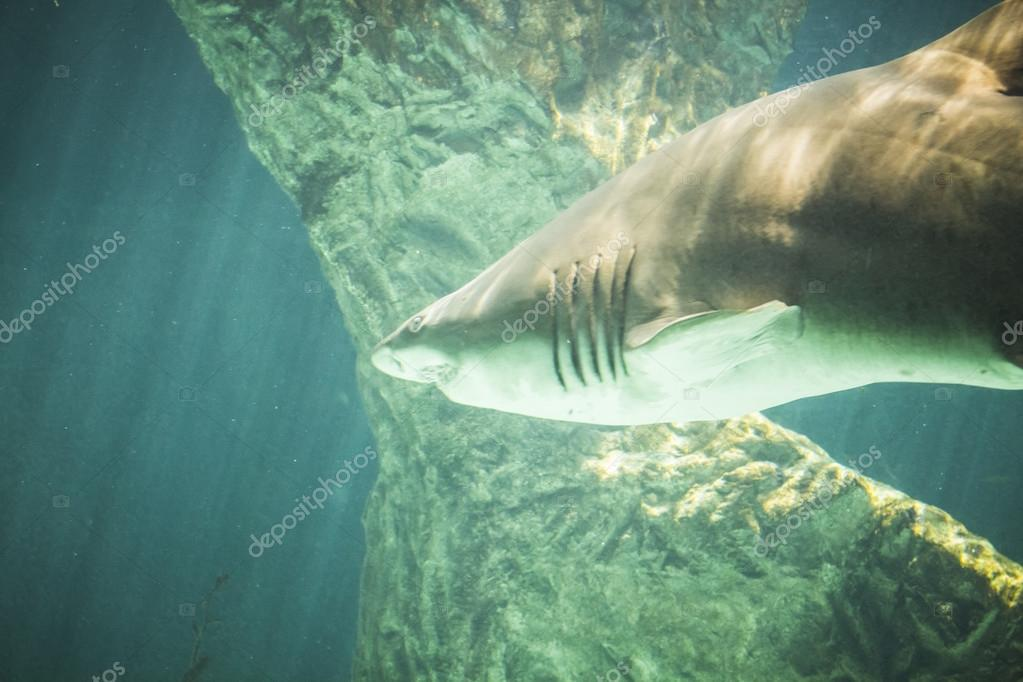 Dangerous and huge shark