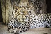 Powerful leopard resting