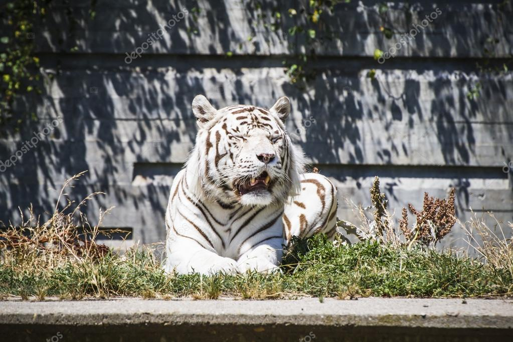 White tiger resting in the sun