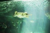 Obrovská mořská želva pod vodou