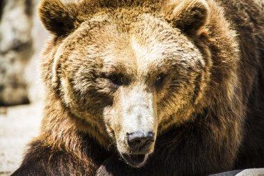 Spanish powerful brown bear