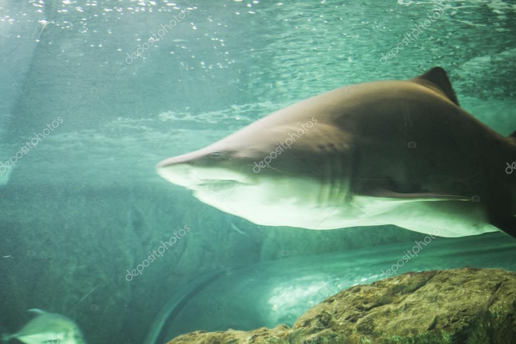 Huge shark swimming under sea