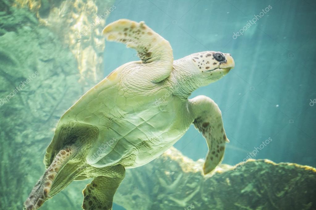 Huge sea turtle underwater